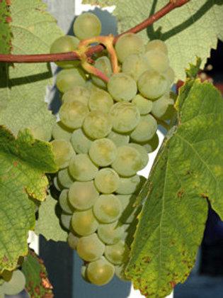 Savignon Blanc Wine Grape