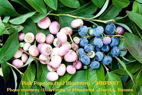 Pink Popcorn Blueberry