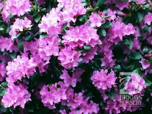 PJM Compact Form Rhododendron