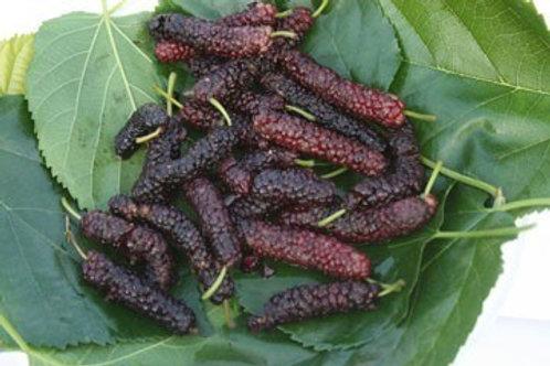 Pakistan Mulberry Tree