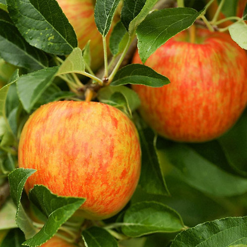 Honey Crisp Apple Tree