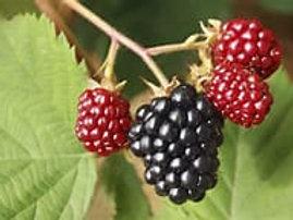 Apache Rubus Blackberry