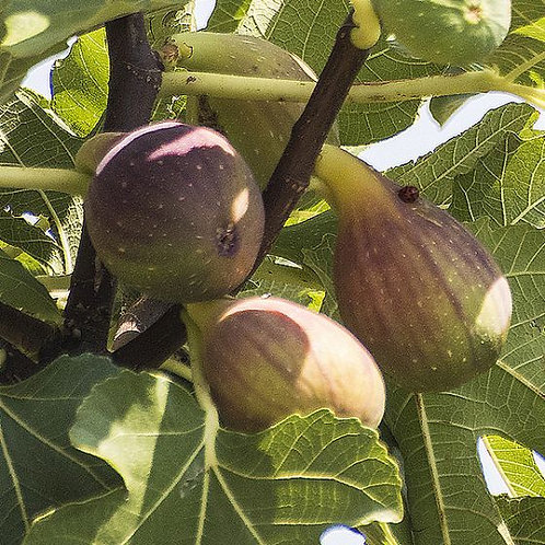 Olympian Fig Tree