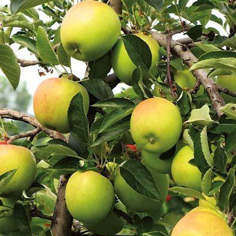 Golden Dorsett Apples Tree