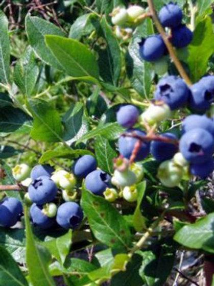 Sierra Blueberry