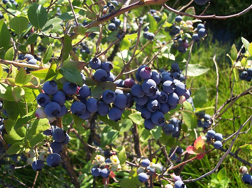 Liberty Blueberry