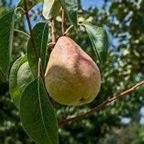 Claps Favorite Pear