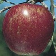 Semi-Dwarf Winesap Apple