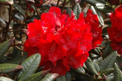 Cherries and Merlot Rhododendron