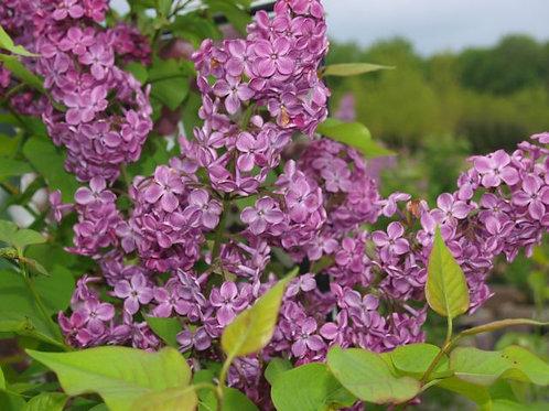 Declaration Lilac Bush