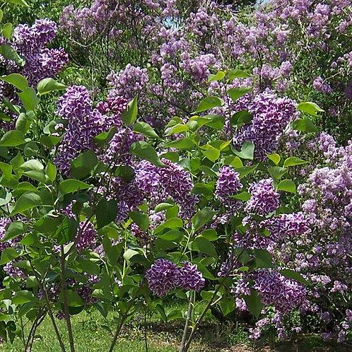 Sensation Lilac Bush