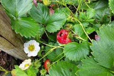 Gurney Whopper Strawberry