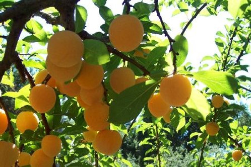 Shiro Plum Tree