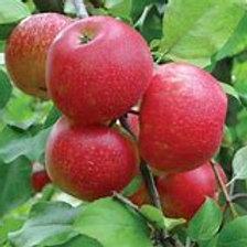 Semi-Dwarf Honeycrisp Apple