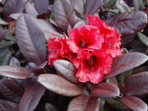 EverRed Rhododendron