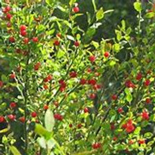 Red Huckleberry (Parvifolium Vaccinium)