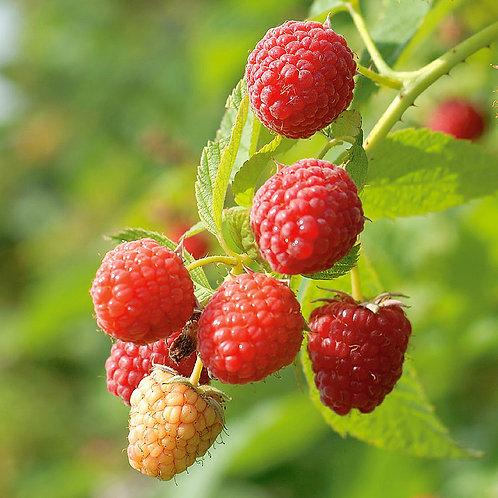 Red Prelude Raspberry