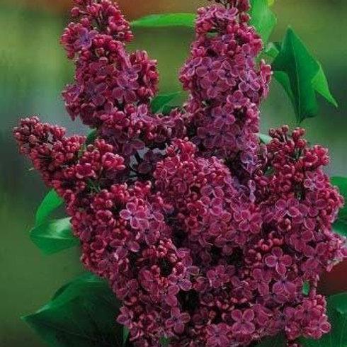 Congo Lilac Bush