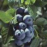 Superior Vaccinium Blueberry