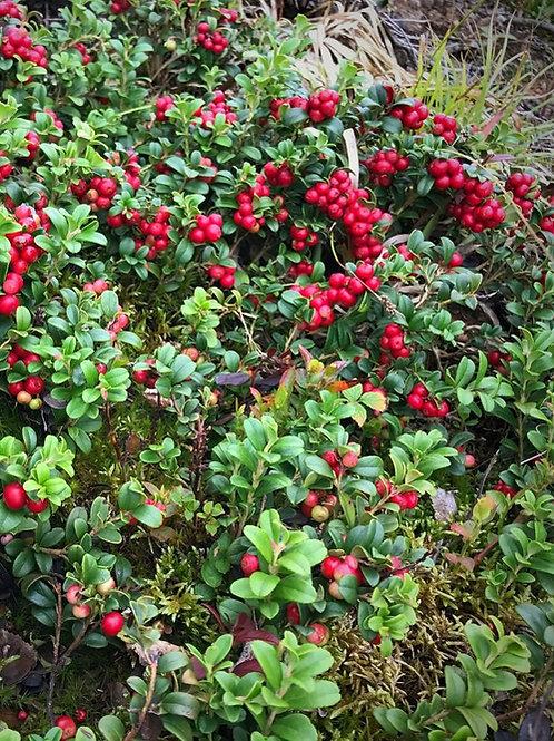 Koralle Lingonberry
