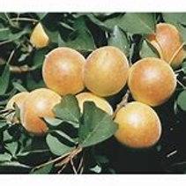 Semi-Dwarf Wenatchee Appricot