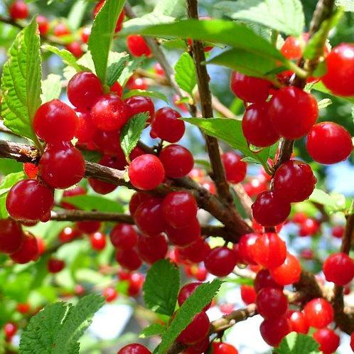 Nanking Cherry Tree