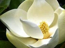 Victoria Magnolia