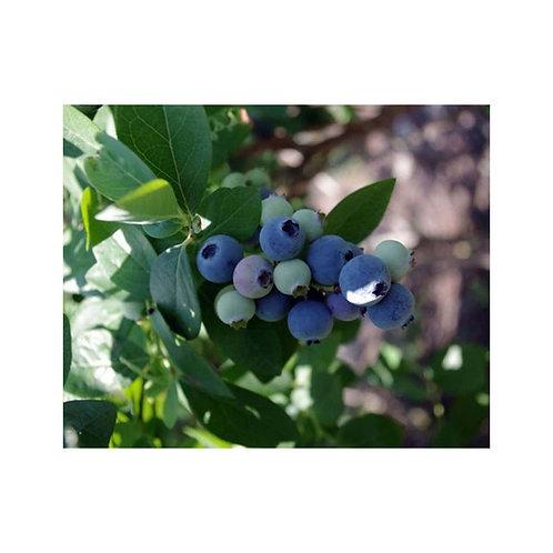 Hardyblue Blueberry