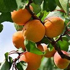 Semi-Dwarf Puget Gold Apricot Tree
