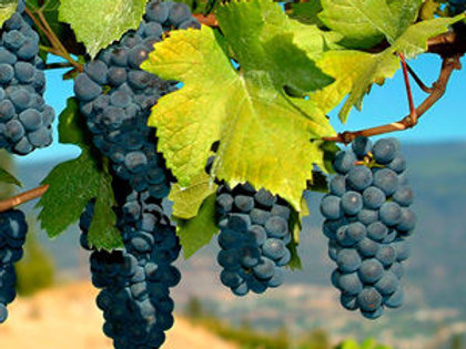 Zinfandel Wine Grape