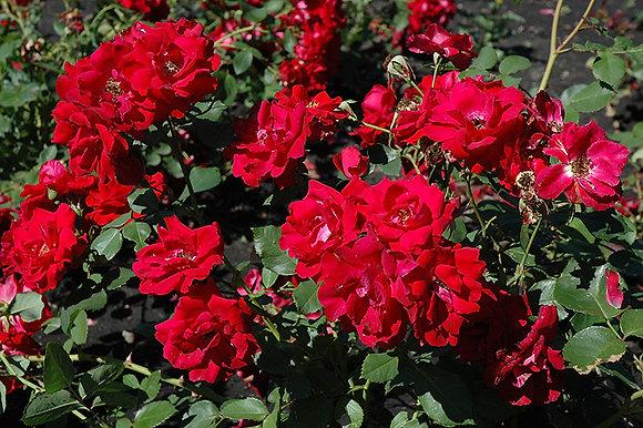 Rose Explorer Champlain 2 Gal (R-)
