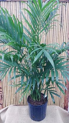 Chamaedorea cataractarum - Cat Palm