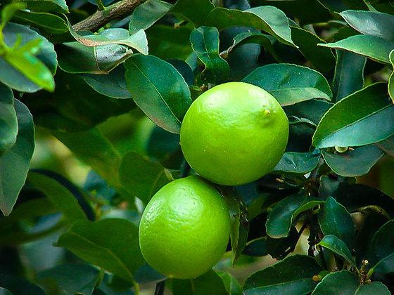 Citrus x latifolia  'Persian Lime' -  Lime Plant 1gal