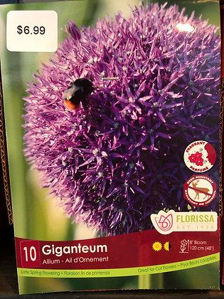 Allium - Giganteum