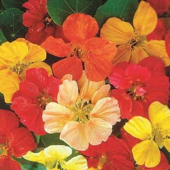 Nasturtium Jewel Mixed  -  McKenzie Seed