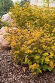Physocarpus opulifolius 'Amber Jubilee'  -  Ninebark
