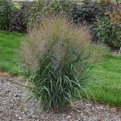 Grass Panicum 'Gunsmoke'  -  Switchgrass 1gal