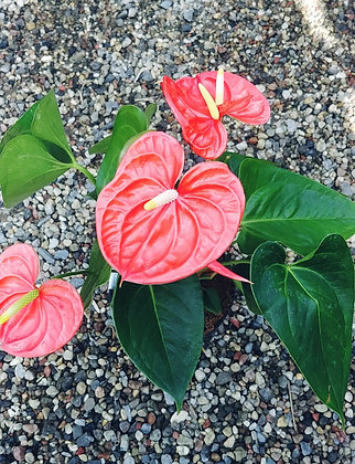 Anthurium Orange 6""