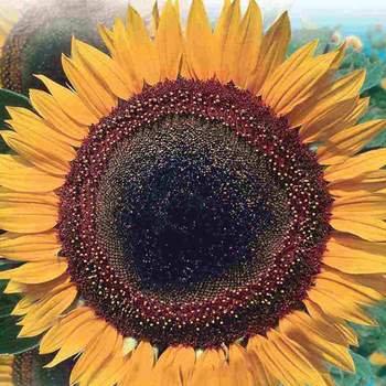 Sunflower Taiyo  -  McKenzie Seed