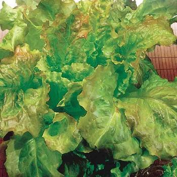 Lettuce Prizehead - McKenzie