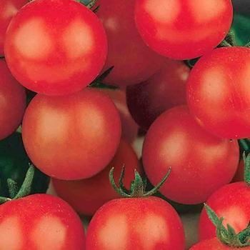 Tomato Tiny Tim - McKenzie