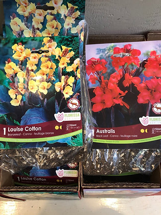 Packaged Canna Lily Bulb