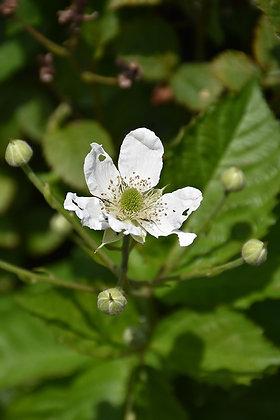 Rubus  'Baby Cakes'  -  Blackberry