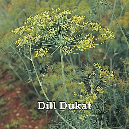 """Herb Dill Dukat 4"""" Pot"""