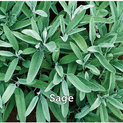 """Herb Sage  4"""" Po"""