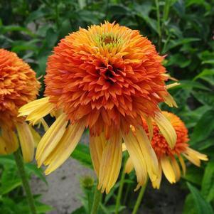 Echinacea 'Orange Fascinator' - Coneflower 1gal