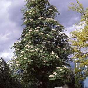 Sorbus aucuparia  'Skybound' -  Mountain Ash