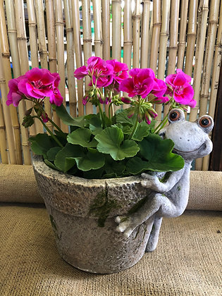 "Mothers Day Frog Planter (includes 6"" Geranium) - Please Select Colour"