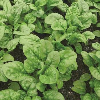 Spinach - McKenzie Seedtape Organic
