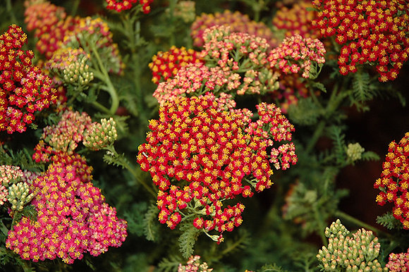 Achillea 'New Vintage Red' - Yarrow 1gal